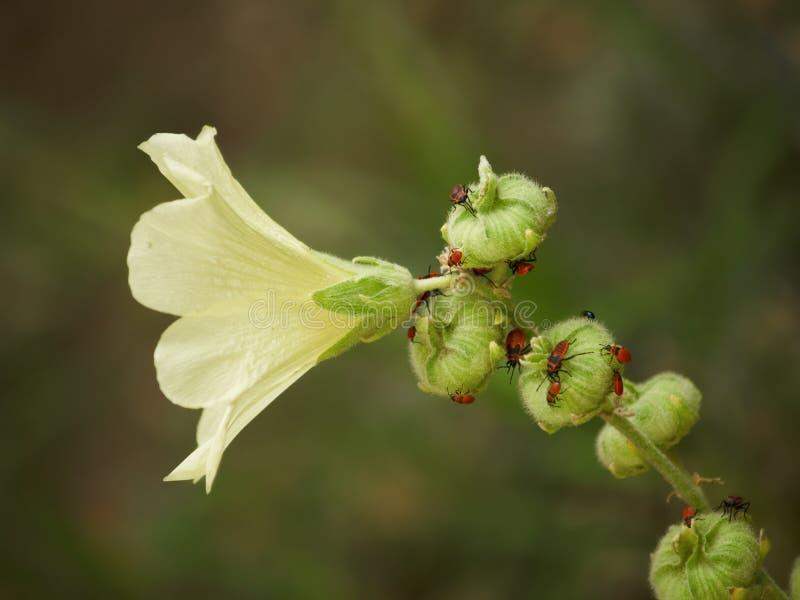 цветок черепашок стоковое фото rf