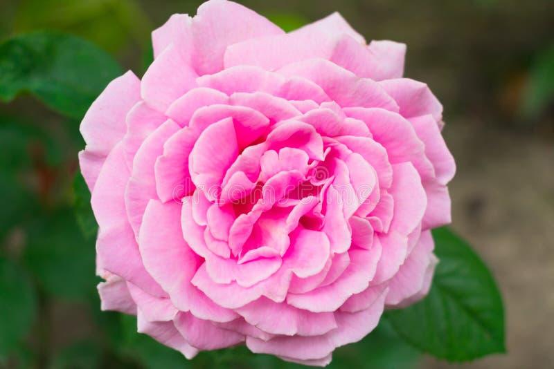 Цветок чувствительного пинка поднял в сад : стоковые изображения