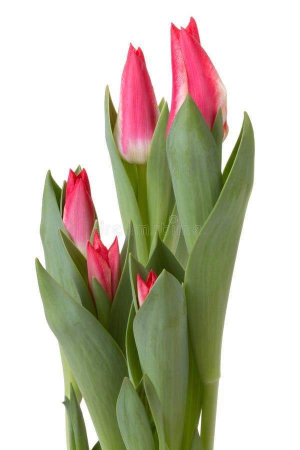 цветок шариков цветет красные тюльпаны тюльпана стоковое изображение