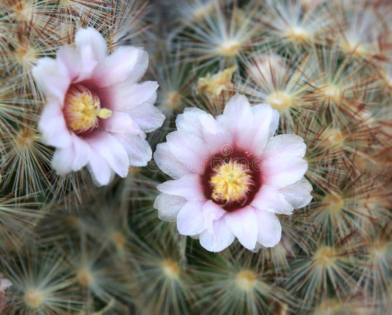 Цветок шиповатой груши стоковое фото rf