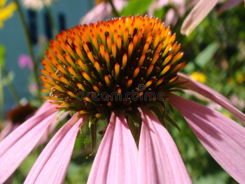 Цветок эхинацеи против мягкой красочной предпосылки bokeh Розовый цветок эхинацеи в саде Травяной завод Purpurea эхинацеи стоковые изображения rf