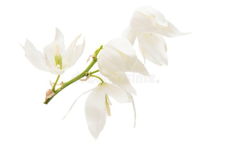 Цветок юкки стоковое фото rf