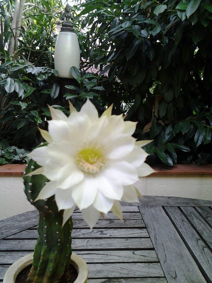 Цветок юкки стоковая фотография rf