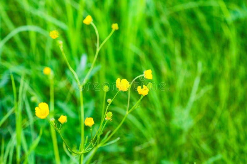 Цветок лютика горькосоленого, долгосрочный с именем ` слепоты цыпленка ` стоковые изображения