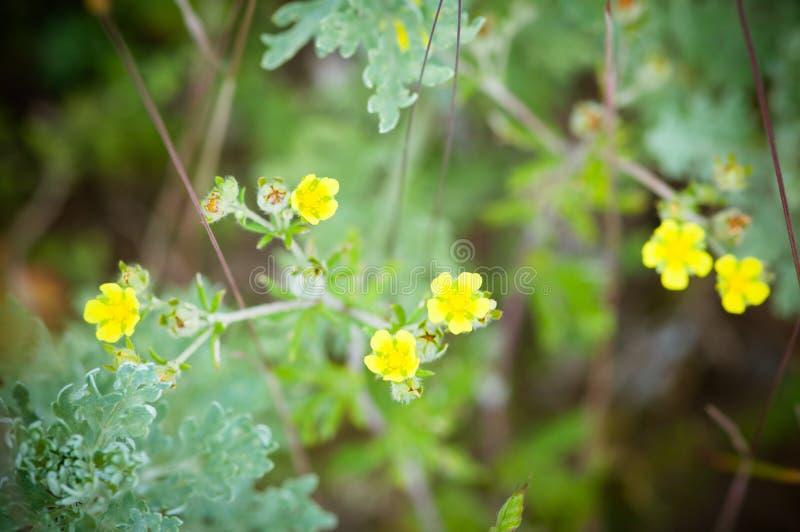 Цветок лютика горькосоленого, долгосрочный с слепотой цыпленка имени стоковые изображения