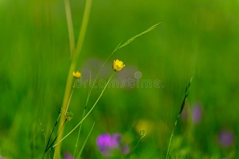 Цветок лютика горькосоленого стоковое изображение rf