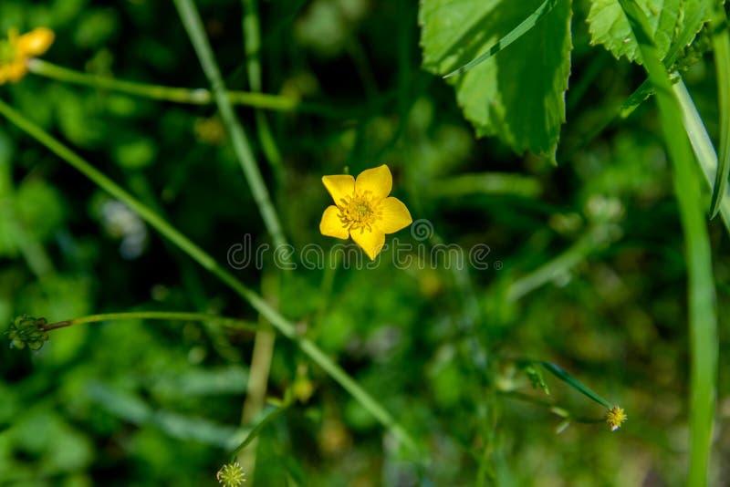 Цветок лютика горькосоленого стоковое изображение