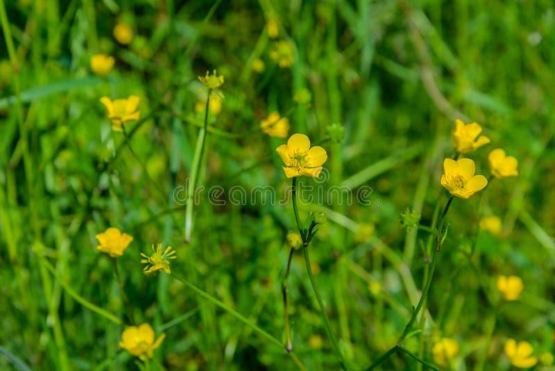 Цветок лютика горькосоленого стоковая фотография rf