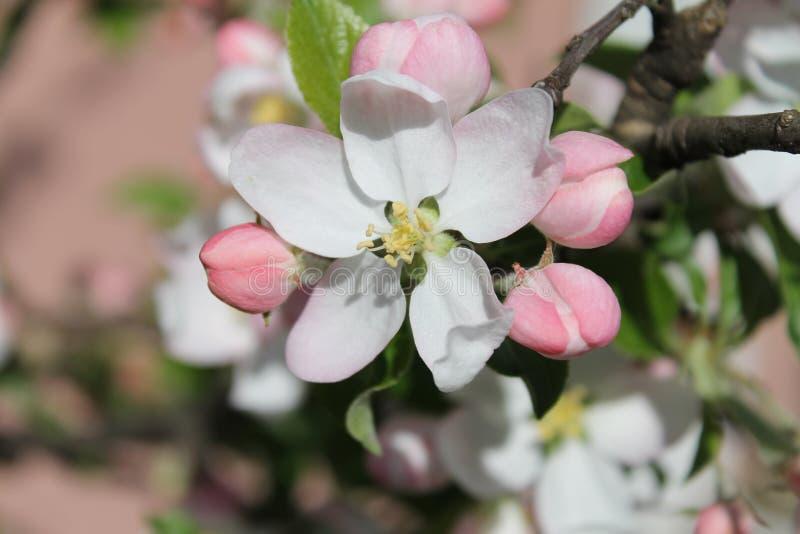 Цветок Яблока Макрос вишневого цвета Цветки взгляда макроса белые Ландшафт природы весны Мягкая предпосылка стоковое изображение