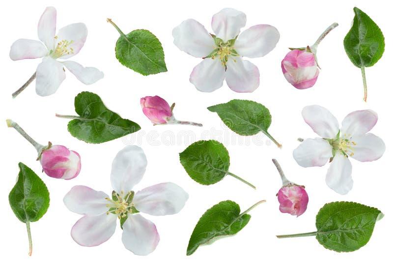 Цветок Яблока с собранием лист стоковые изображения