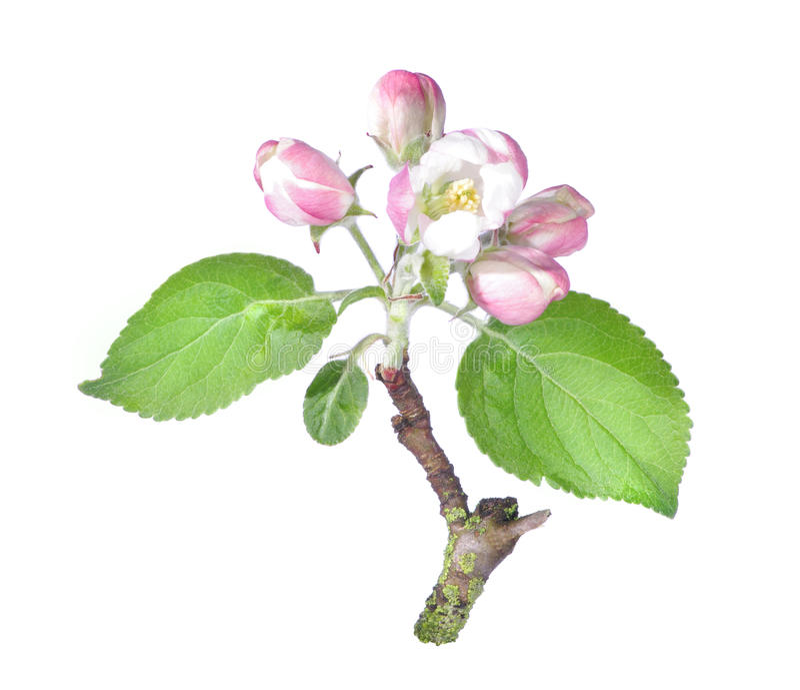 Цветок яблони стоковое изображение