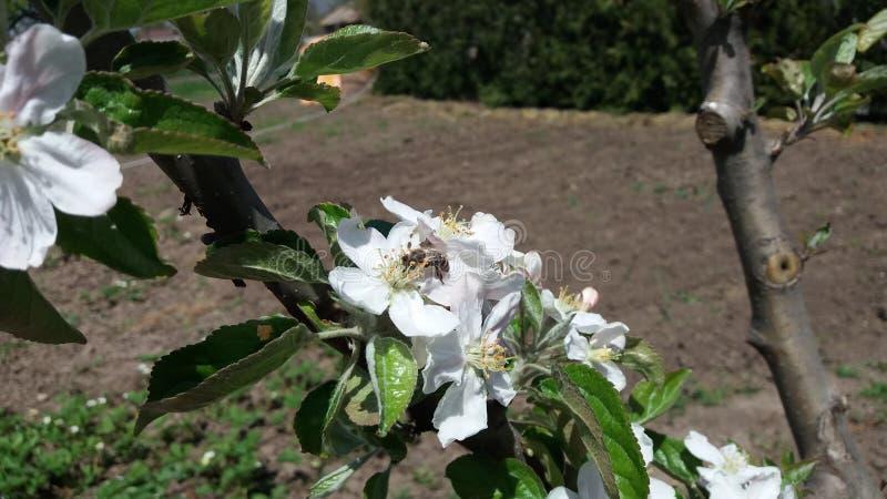 Цветок яблока и пчела стоковая фотография