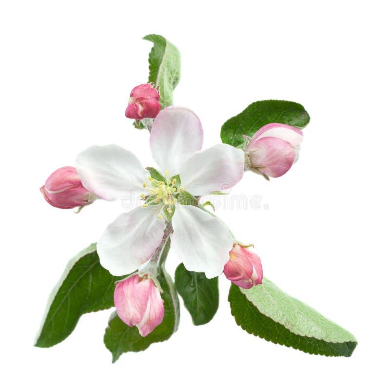 Цветок Яблока с лист стоковая фотография rf