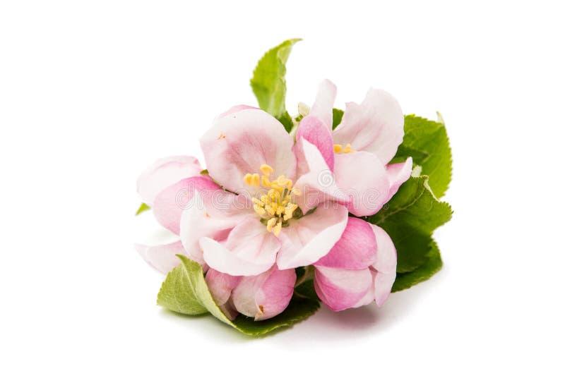 Цветок Яблока стоковые изображения rf