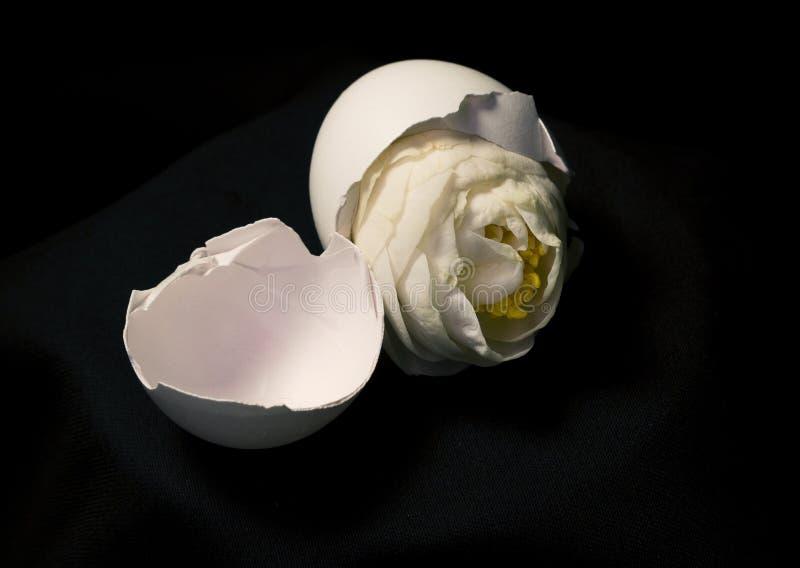 Цветок яичка стоковые фотографии rf