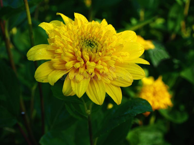"""Цветок ярких желтых дней подсолнечника """"счастливых стоковое фото rf"""