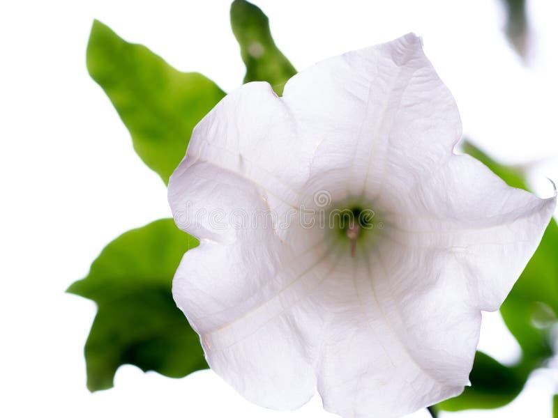 Цветок arborea Brugmansia крупного плана белый изолированный на белизне Колокольчик, взгляд дурмана нижний стоковая фотография