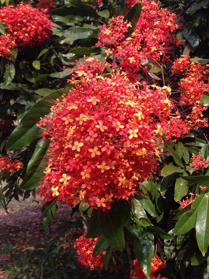 Цветок Asoka стоковая фотография