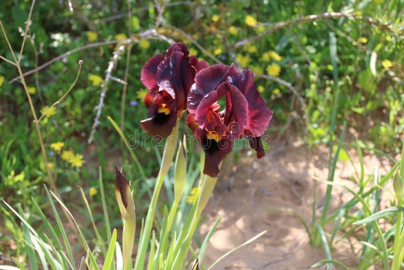 Цветок atropurpurea радужки стоковые фото