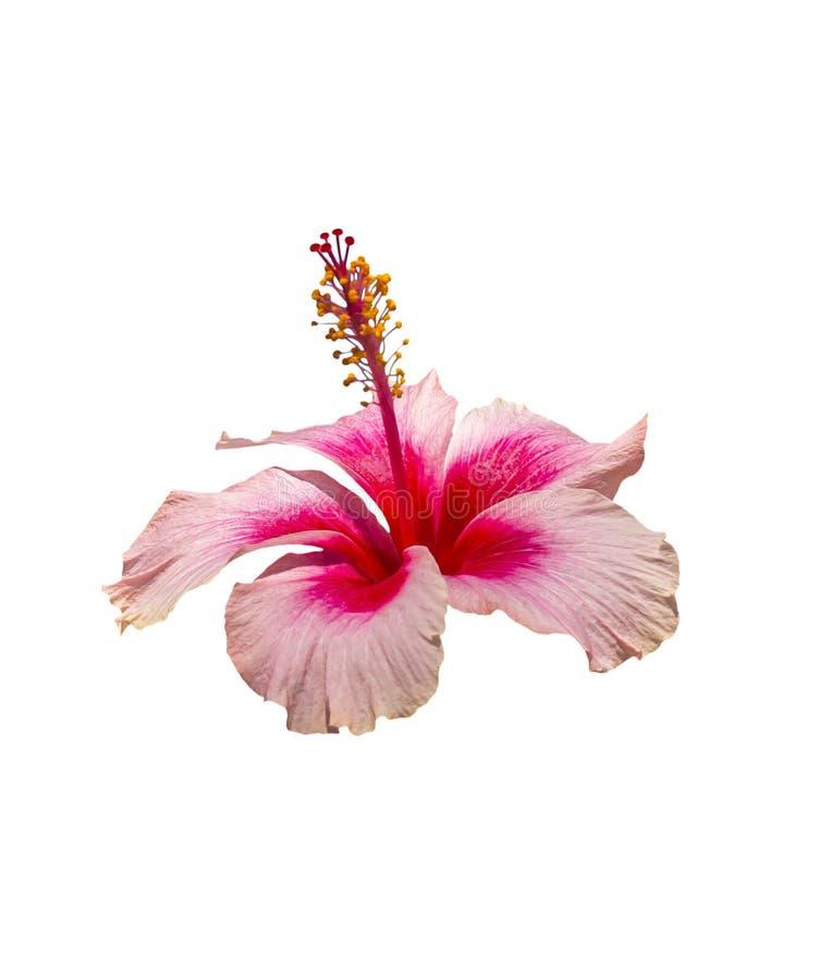 Цветок Beautyful розовый и красный гибискуса стоковое фото rf