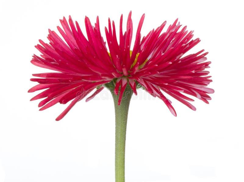цветок bellis цветет лето стоковое фото rf