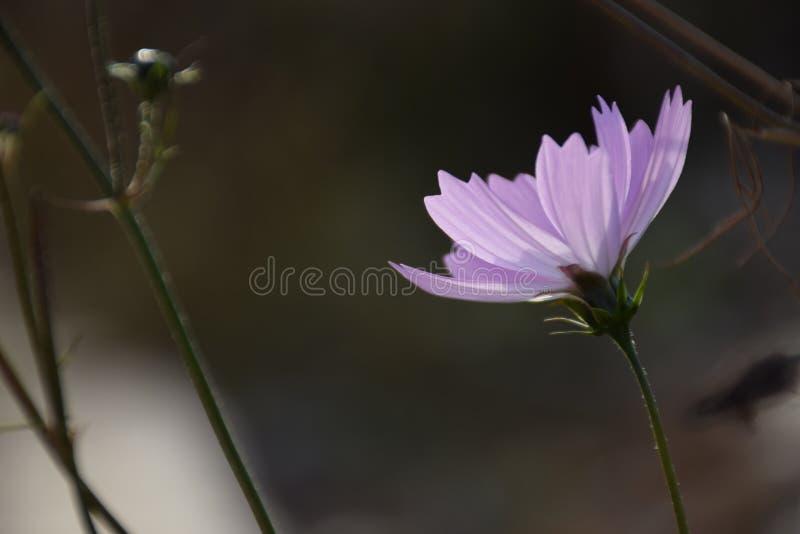 Цветок bipinnata космоса стоковые фотографии rf