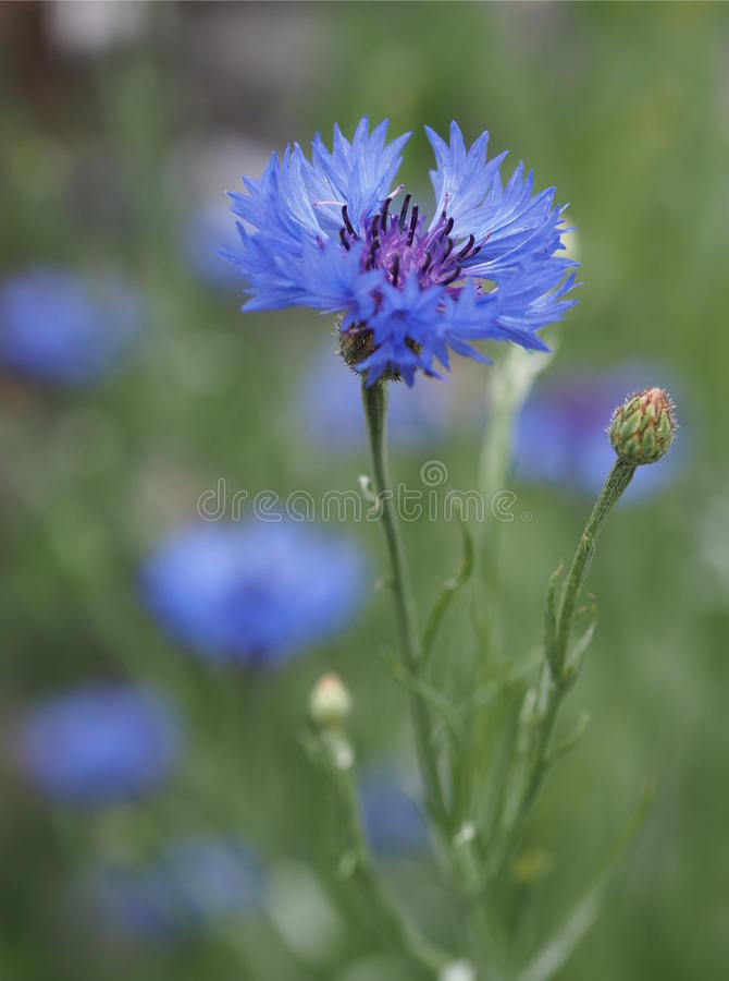Цветок bluebonnet поля стоковое фото rf