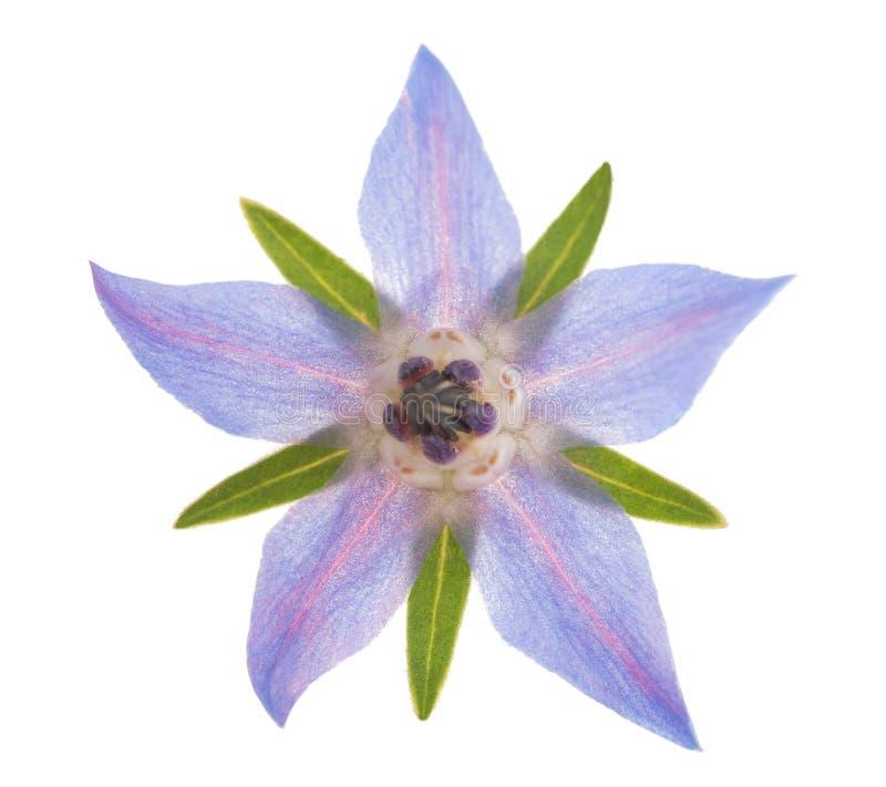 Цветок Borage стоковая фотография