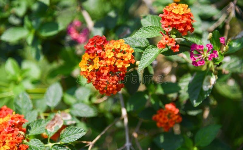 Цветок camara Lantana стоковое изображение rf