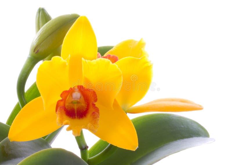 цветок cattleya цветет орхидеи орхидеи стоковые изображения rf