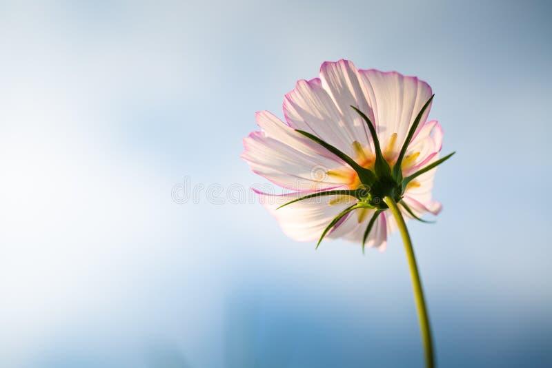 Цветок Cav bipinnata космоса стоковые изображения