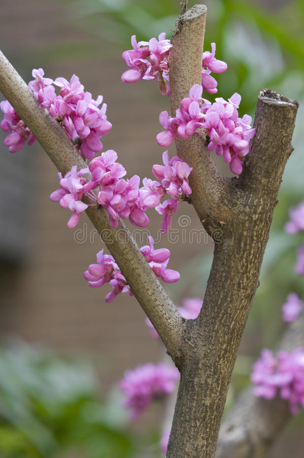 Цветок Cercis chinensis стоковые фотографии rf