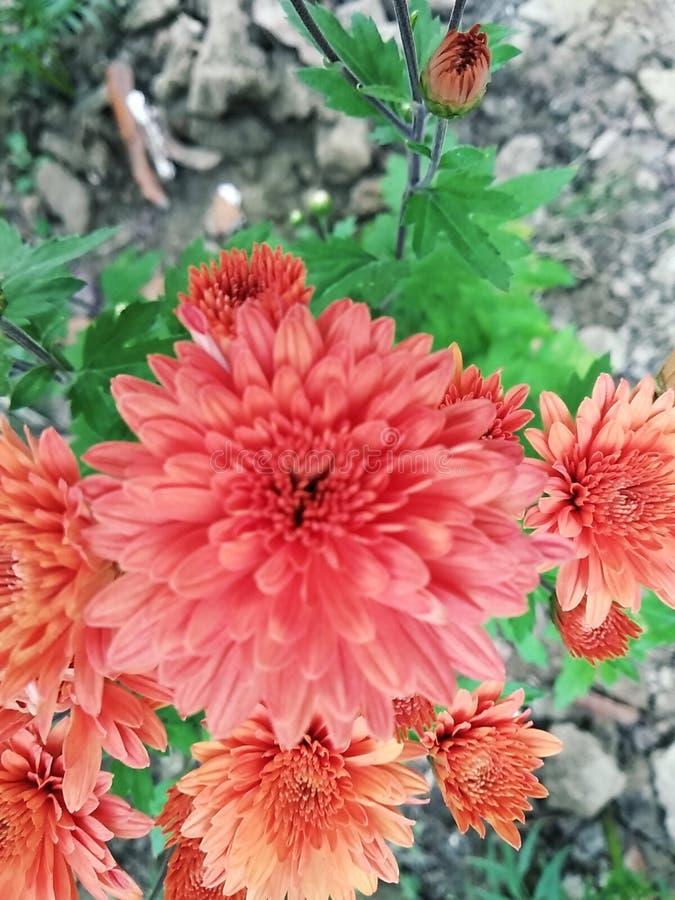 Цветок Chandra Mallika стоковое изображение
