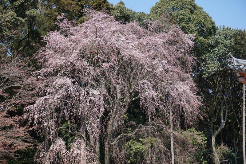 Цветок Cherryblossom стоковая фотография rf