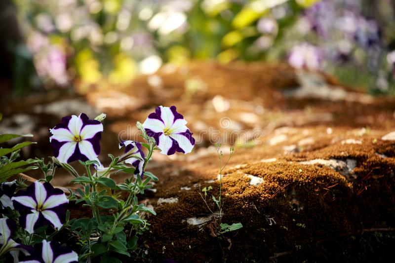 Цветок Chiangmai в Таиланде стоковое фото rf