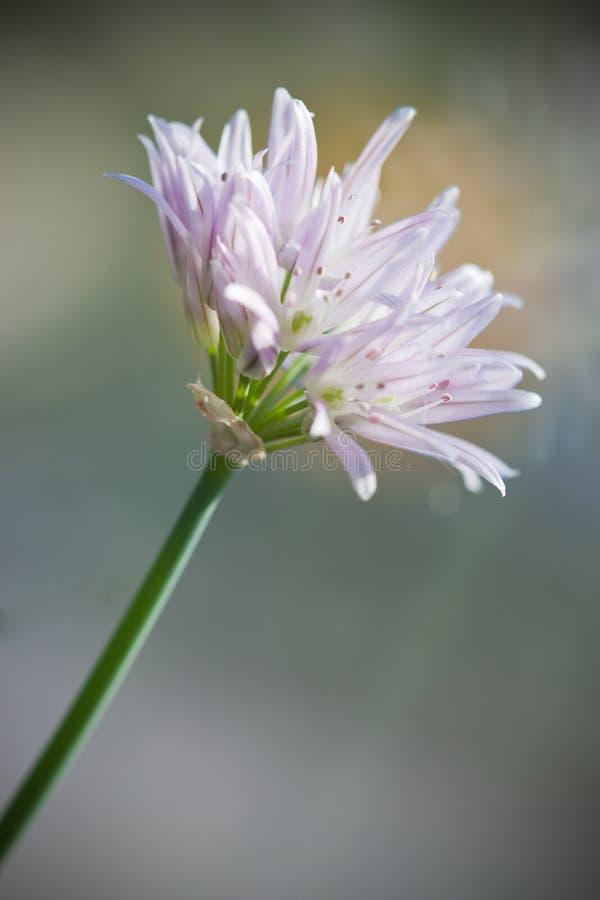 Цветок Chives стоковые изображения rf