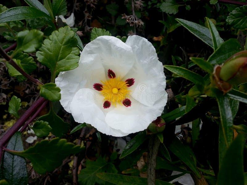 Цветок Cistus с белыми лепестками глубокими - красные точки и желтый центр стоковые изображения