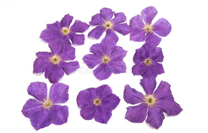 Цветок clematis Lavendar стоковые фотографии rf