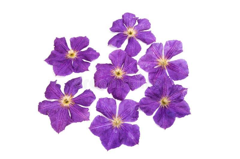 Цветок clematis Lavendar стоковая фотография rf