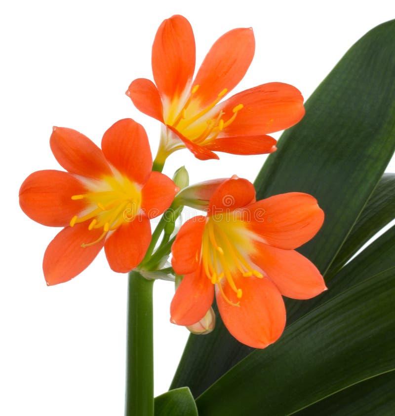 цветок clivia цветет макрос стоковые изображения rf