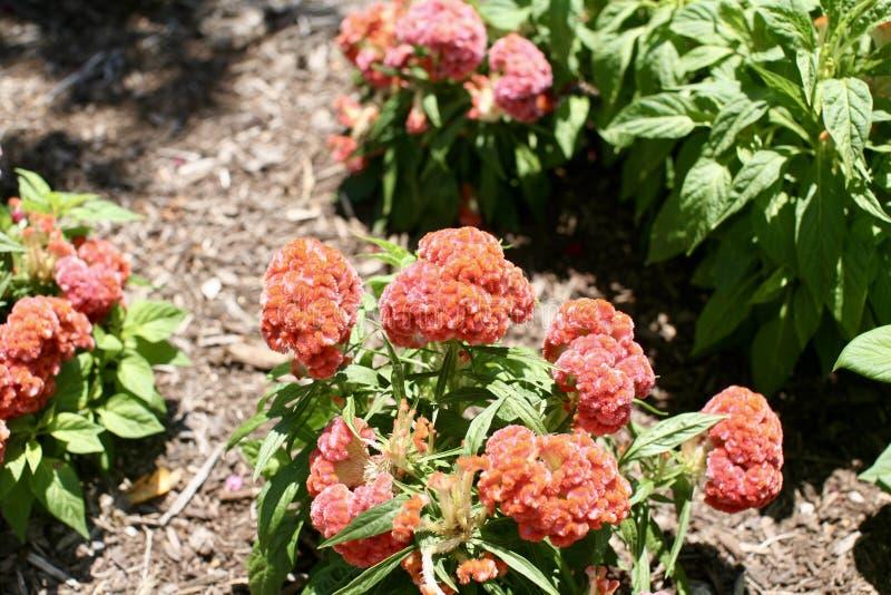 Цветок Cockscomb бархата оранжевый стоковое фото