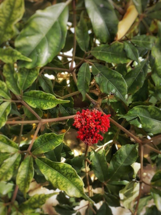 Цветок Cofee стоковое изображение rf