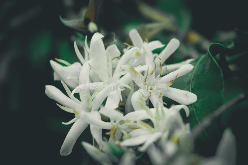 Цветок Coffe Gayo, Ачеха стоковое изображение