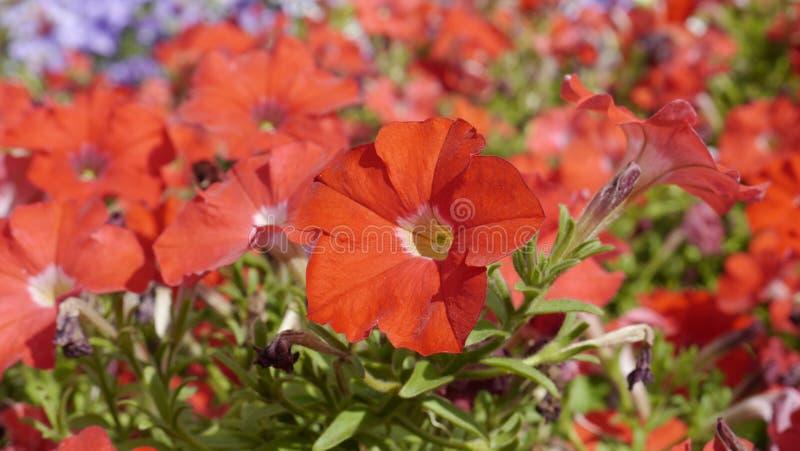 цветок coleus кроватей другие pansies стоковое изображение