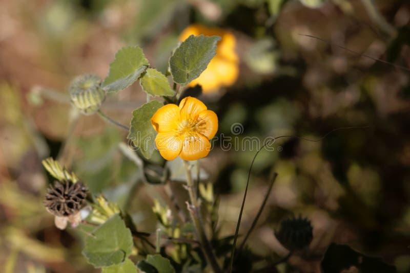 Цветок cordifolia Sida засорителя фланели стоковое изображение