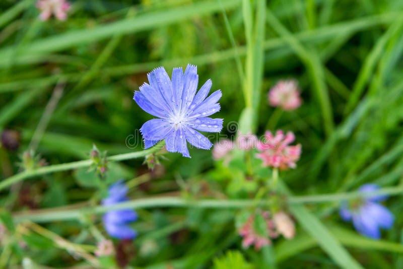 Цветок Cornflower с падениями дождя стоковое изображение