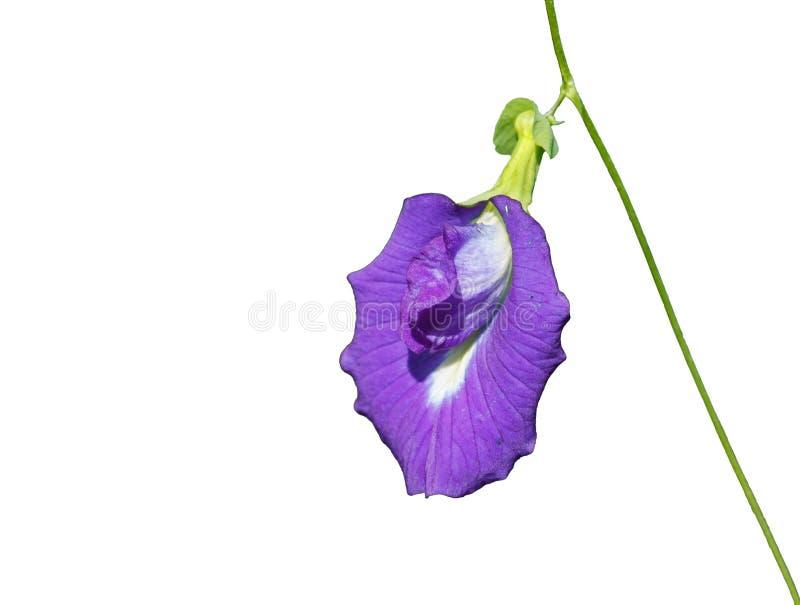 Цветок Creeper раковины стоковые изображения rf