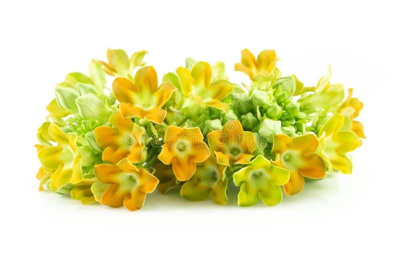 Цветок creeper Cowslip изолированный на белой предпосылке, концепции еды здоровой стоковое фото