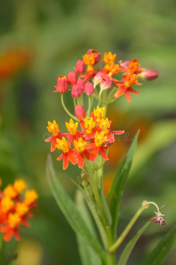 Цветок curassavica Asclepias стоковые изображения rf