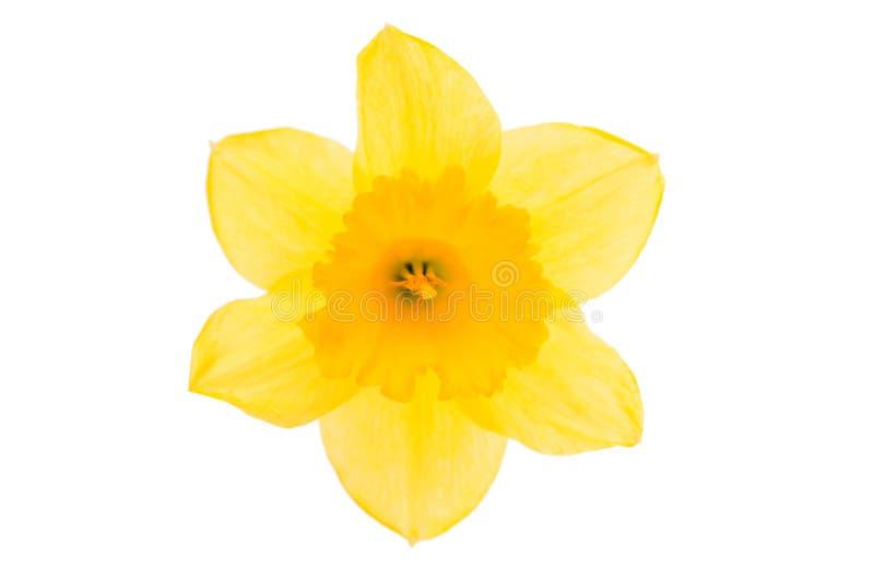 Цветок Daffodil желтый стоковые изображения